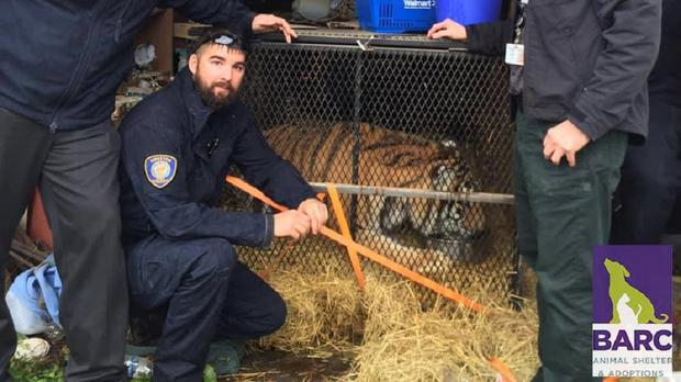 The tiger was discovered in a cage secured with a nylon strap and a screwdriver (BARC)