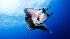 Reef manta ray usually live in coastal waters (Divepic/Getty images/PA)