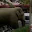 The wild Asian elephant got separated from his group and wandered around Meng'a (CCTV)