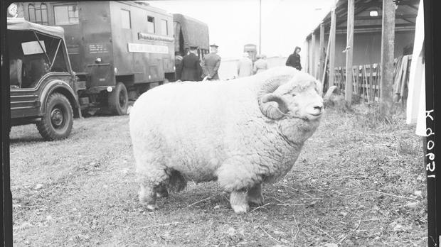 The 'absolute unit' ram from the Museum of English Rural Life (The Museum of English Rural Life, University of Reading)