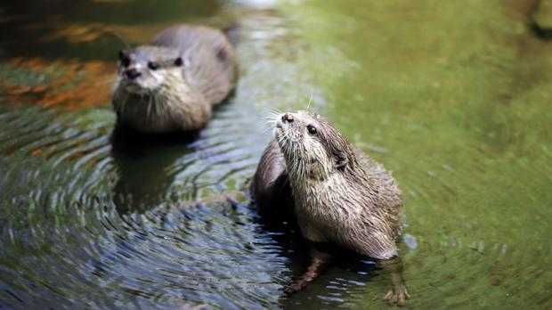 Otters (Vronja_Photon/Getty Images)