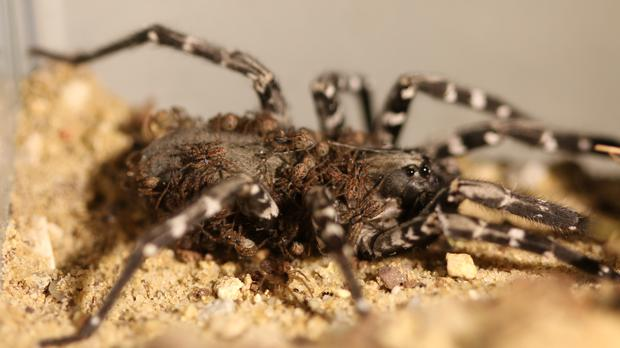Desertas wolf spider and babies (Zoological Society of London)