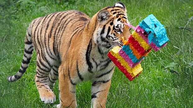 A tiger at ZSL Whipsnade Zoo celebrates its first birthday (ZSL Whipsnade Zoo/PA)
