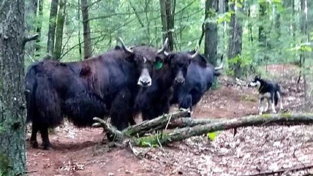 The yaks were eventually rounded up (West Springfield Animal Control/PA)