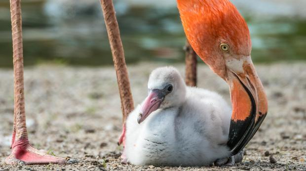 A flamingo and chick (BlackAperture/Getty Images)