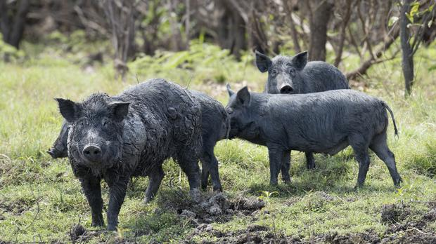 Feral pigs (John Carnemolla/Getty Images)