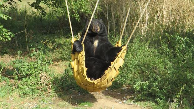 Chuck the seven year old North American black bear in a hammock trying to catch the last rays of summer (Woburn Safari Park)
