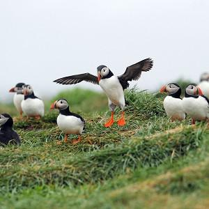 The Farne Islands puffin census takes place every five years