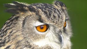 A European eagle owl