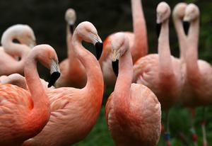 A study suggests flamingos tend to spend time with their close friends (David Cheskin/PA)