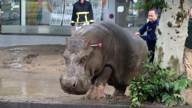 People follow a hippopotamus that has been shot with a tranquiliser dart after it escaped from a flooded zoo in Tbilisi, Georgia (AP)