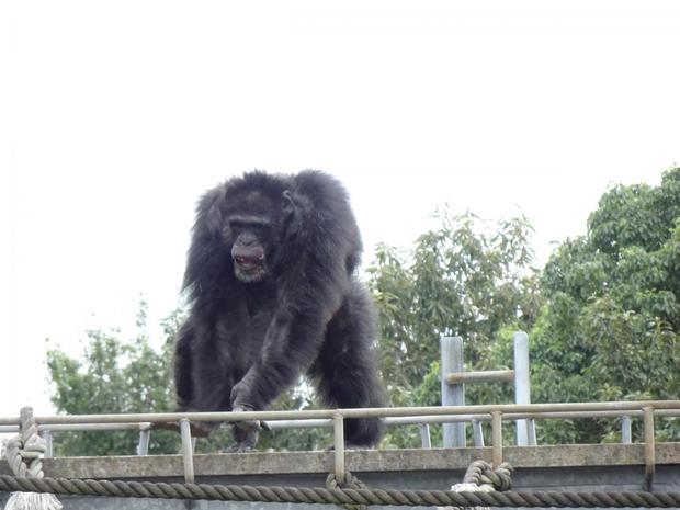 Chimps predisposed to music and like to boogie, study shows