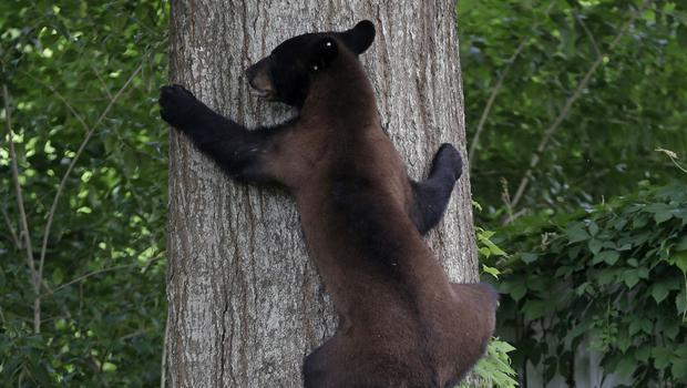 A Louisiana black bear has spent the past week of so up a tree in a Louisiana neighbourhood (AP)