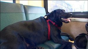 Eclipse, a black Labrador, rides the bus (AP/KOMO-TV)