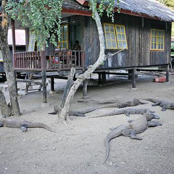 FILE - In this Tuesday, April 28, 2009 file photo, komodo dragons bask near a ranger hut on Rinca island, Indonesia. A park official said two people have been hospitalized after being attacked by a giant komodo dragon on the island in eastern Indonesia. (AP Photo/Dita Alangkara, File)