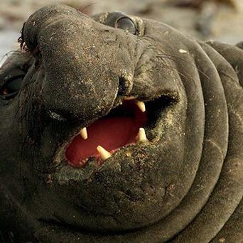 The H1N1 strain of swine flu was found in elephant seals off California (WPA/RTRS/Dylan Martinez/PA)