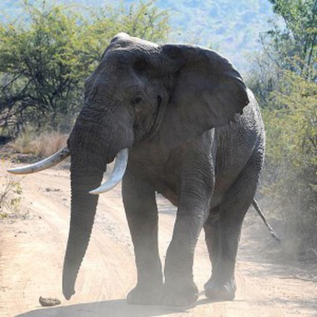 The poaching of elephants for their ivory is a grave menace in central Africa, the UN Security Council has been told
