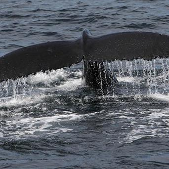 Japan is facing calls to ban its annual whale hunt