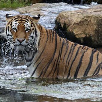 Vladimir, an endangered Amur tiger, enjoys a swim during Global Tiger Day