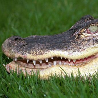 Acupuncture on animals is becoming increasingly common around the world, including alligators