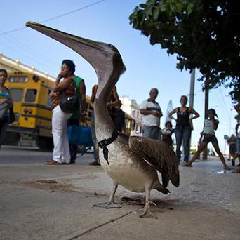 Pancho the pelican walks along a street in Havana, Cuba (AP)