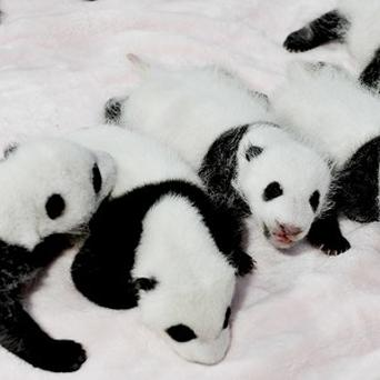 Panda cubs rest in a crib at the Giant Panda Breeding and Research Base in Chengdu (AP)