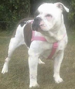Lexi Branson died in hospital after being attacked by the Bulldog (inset) in the living room of her home