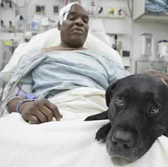 Cecil Williams and hero guide dog Orlando in hospital following a near-fatal fall in front of an underground train in Manhattan. (AP)