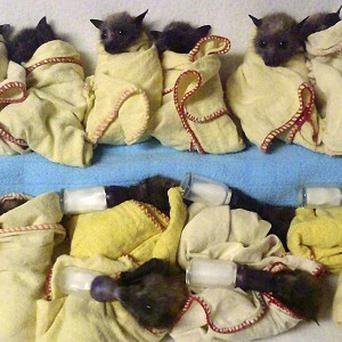 Fifteen heat-stressed baby Flying Foxes bats are lined up ready to feed at the Australia Bat Clinic in Queensland. (AP)
