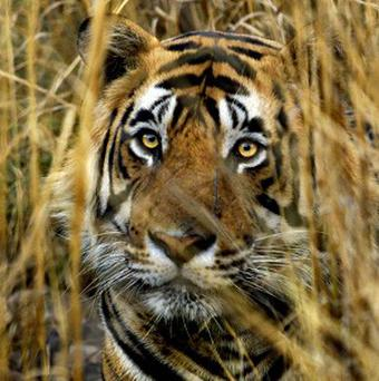 In Russia, local hunters can receive £10,000 for a dead tiger from the middlemen who smuggle it to the black markets across the Chinese border.