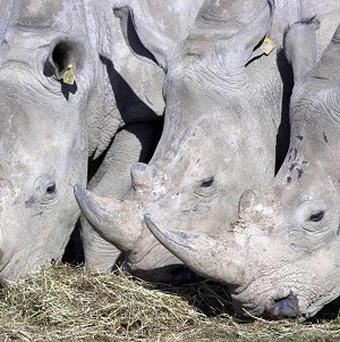 Rhino horn is seen in parts of Asia as a status symbol and a healing agent