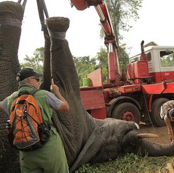 A tranquilised elephant is loaded onto a truck near the town of Daloa in western Ivory Coast (AP)
