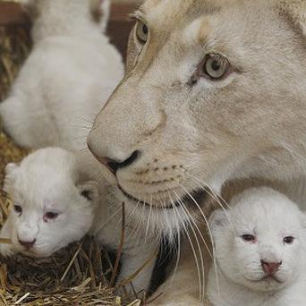 White lioness Azira lies with two of her three white cubs that were born in Borysew, central Poland (AP Photo/Czarek Sokolowski)