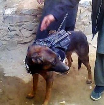 Taliban fighters stand by a dog its spokesman said they captured during a battle in Afghanistan as it is held in Laghman province, east of Kabul (AP)