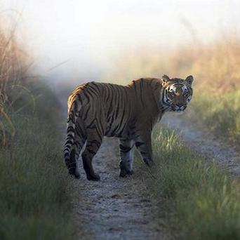 A tiger at a reserve in the northern Indian state of Uttarakhand (AP/Corbett Tiger Reserve)