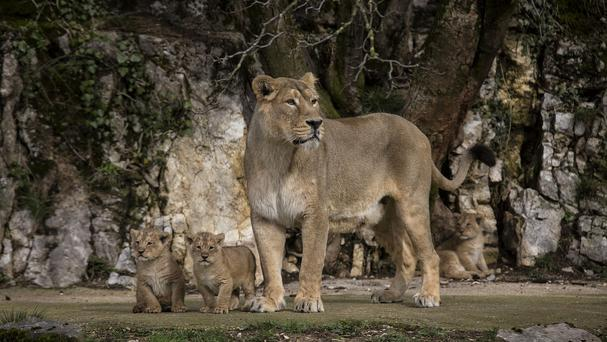 Asiatic lion Shiva, the mother of three cubs, looks out over her domain in the Besancon zoo, eastern France (AP)