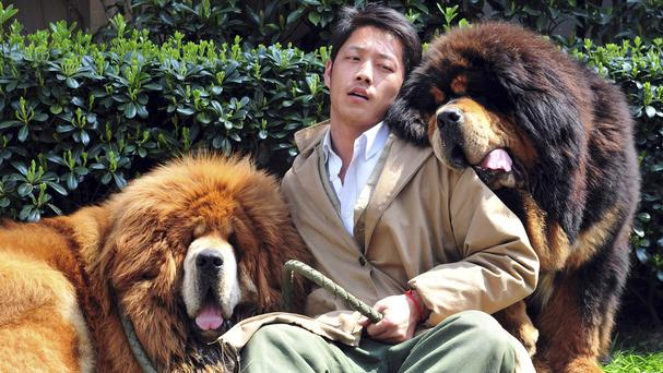 A man working for a dog breeder bids farewall to two Tibetan mastiffs he had been caring for in east China's Zhejiang province (AP)