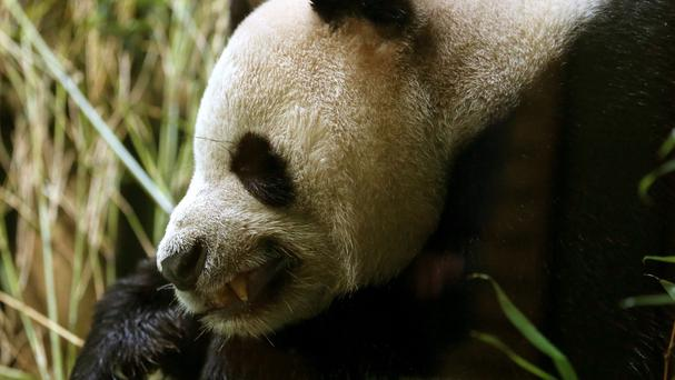 A male giant panda, like the one pictured, had to have a tumour removed