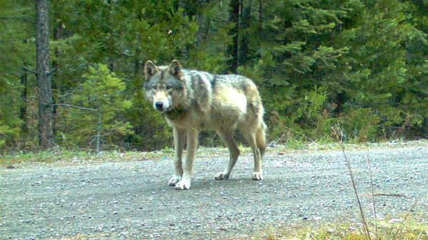 This remote camera photo taken on May 3 shows the wolf OR7 in south-west Oregon's Cascade Mountains (AP/USFWS)