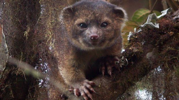 The olinguito is the first new carnivorous mammal described in the western hemisphere in 35 years (Smithsonian Institute/PA)