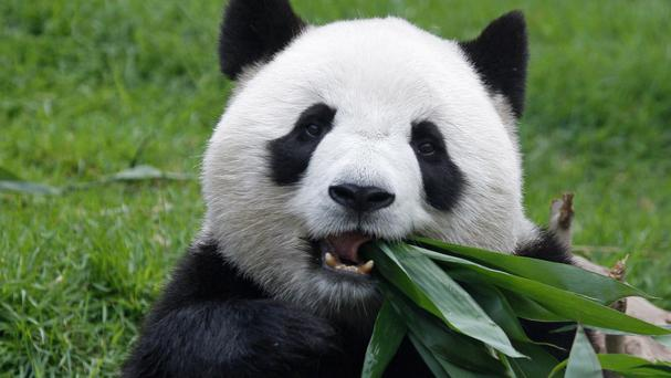 Macau's female giant panda Xin Xin has died from kidney failure (AP Photo/Str)