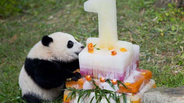 Panda cub Bao Bao with her birthday cake at the National Zoo in Washington (AP)