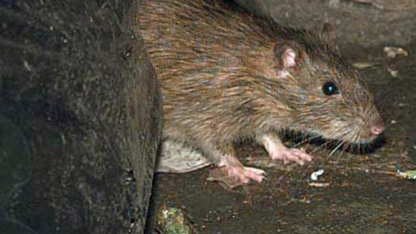 The plague is a disease carried by rodents and spread by fleas