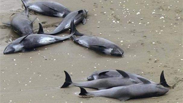 Dolphins lie on the beach in Hokota, north of Tokyo (AP/Kyodo News)
