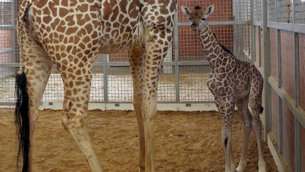 The calf was born weighing 139lb and standing 5ft 10in (AP/Dallas Zoo)