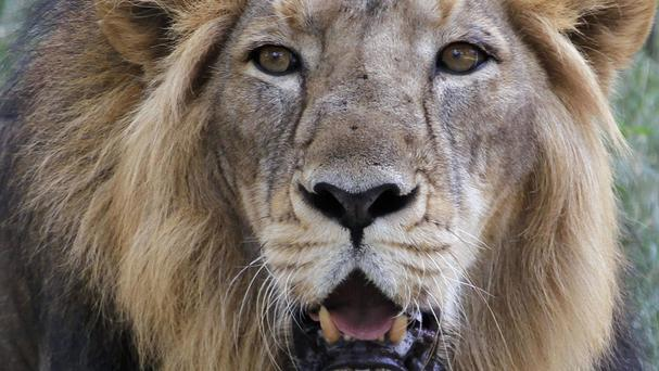 Gujarat forest officials say in a report that the rains killed at least 10 of the country's 523 Asiatic lions, the last members of the subspecies left anywhere in the wild (AP)