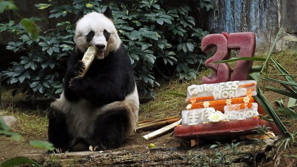 Giant panda Jia Jia eats bamboo next to her birthday cake made with ice and vegetables at Ocean Park in Hong Kong (AP)