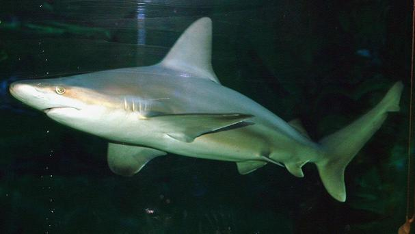 An Australian surfer was badly injured after being attacked by a shark