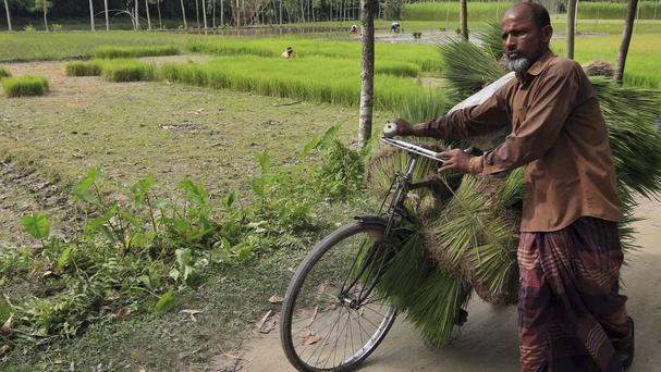 A villager carries harvested rice on his cycle at Dashiachora, in Kurigram enclaves (AP)