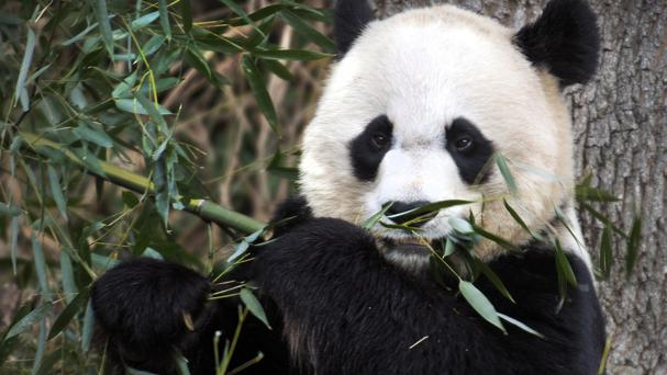 Mei Xiang has given birth to two surviving cubs - Tai Shan, a male born in 2005, and Bao Bao, who was two on Sunday (AP)